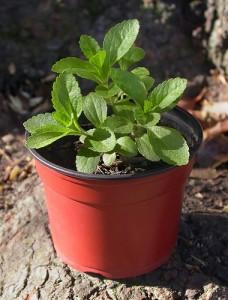 Steviapflanze