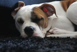 Schlafender Hund2