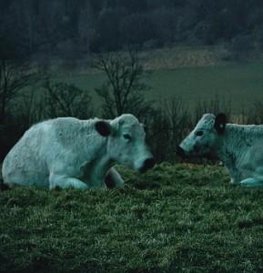 Kühe bei Nacht