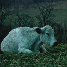 Kuh bei Nacht