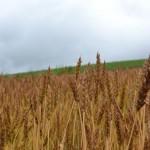 Bild für Weizenallergie: Schlüsselprotein identifiziert
