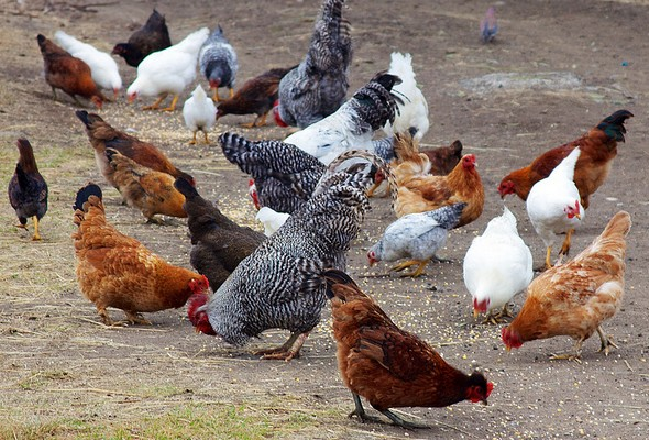 Hühner beim Fressen