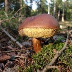 Bild für Nach Tschernobyl: Wildpilze in Teilen Bayerns weiterhin stark belastet