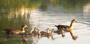 Entenfamilie auf dem See