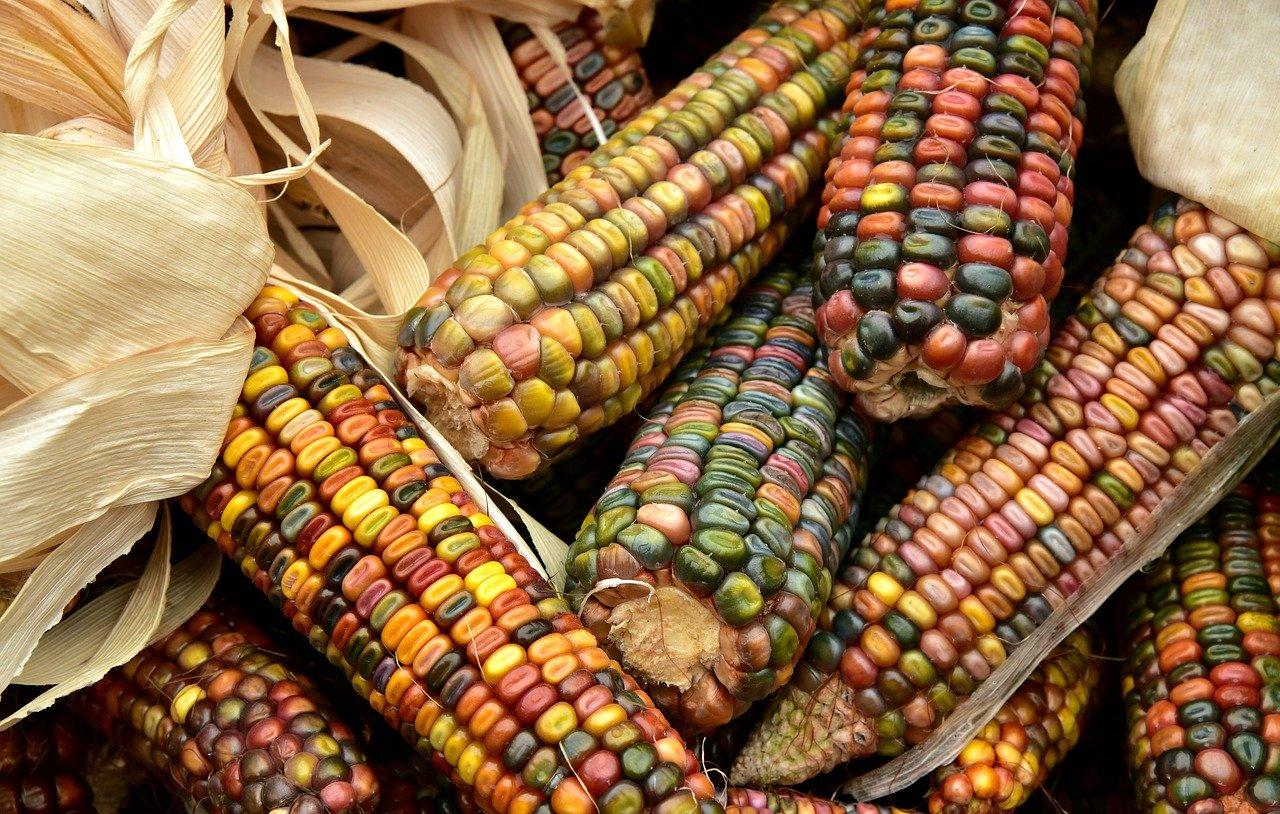 Bild für Mais: Gemüse des Jahres 2021/2022